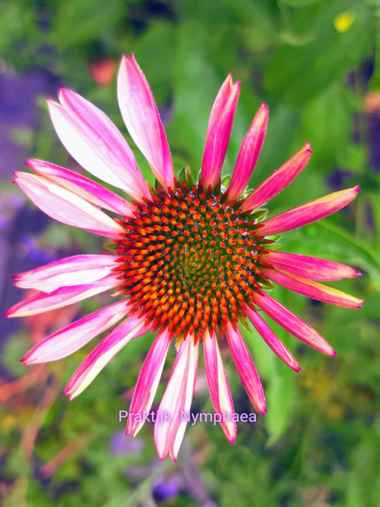 Echinacea Purperosa